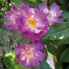 Rosier liane Veilchenblau