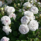 Rose Blush® 'Evevic'