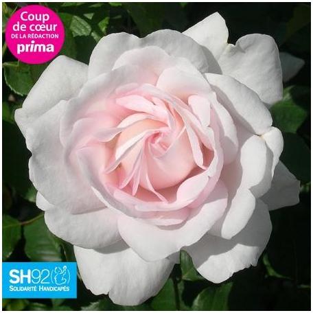 Rose Blush® 'Evevic' Tige