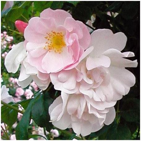 Sourire d'Orchidée rosier Tige