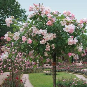 Sourire d'Orchidée rosier Tige Pleureur