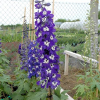 Delphinium pacific King Arthur