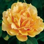 Amber Queen® 'Harroony'