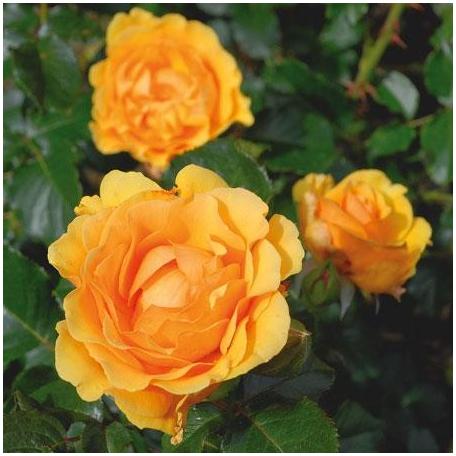 Amber Queen rosier buisson jaune