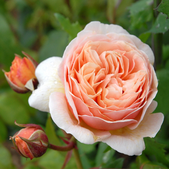Sweet Juliet® 'Ausleap'