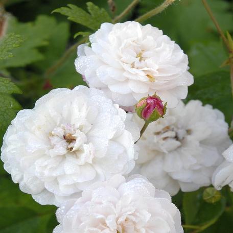 Little White Pet (Belle de Téhéran)