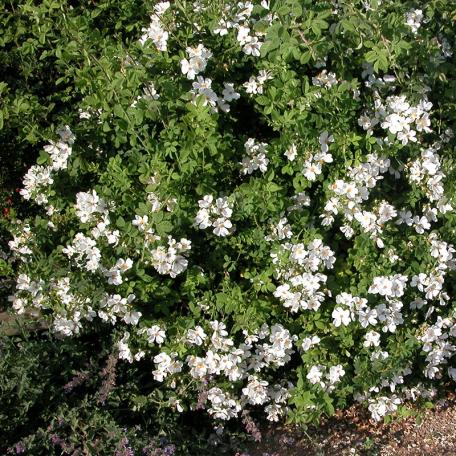 R. arvensis