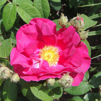 R. gallica officinalis (Rose de Provins )