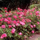R. gallica officinalis (Rose de Provins )