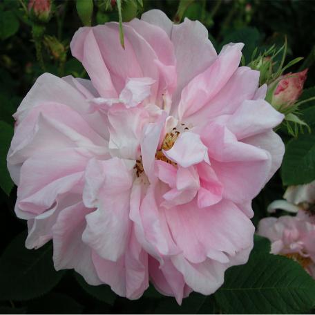 Celsiana (rosier de Cels)