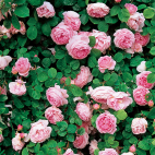Constance Spry® 'Ausfirst'