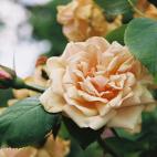 Rosier Old Glory Rose