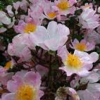 R. multiflora adenochaeta