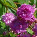 Rose Marie Viaud