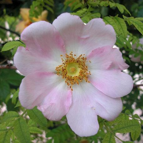 R. roxburghii normalis