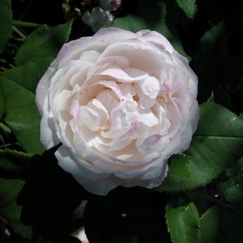 Mme Pierre Oger