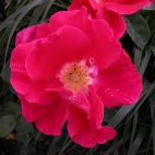 Red Coat® 'Auscoat'