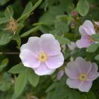 R. blanda