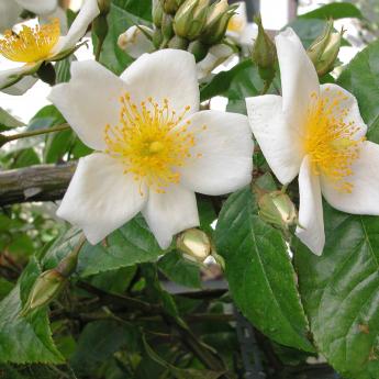 R. longicuspis Bertoloni