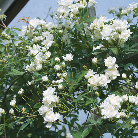R. banksiae (R. banksiae Alba Plena)