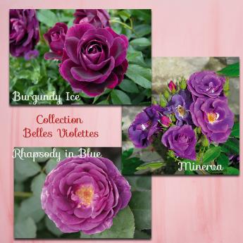 Collection BELLES VIOLETTES