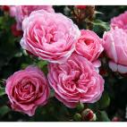 Lot de 3 rosiers CLAIRE® Evebrugen