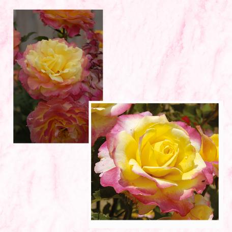 Lot de 3 rosiers CONCOURS LEPINE® Evecolepi