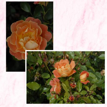 Lot de 3 rosiers RENE DESCARTES® Eveoran