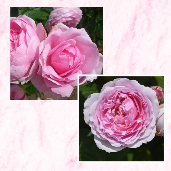 Lot de 3 rosiers ANDRE EVE LE JARDINIER DES ROSES® Evegeboll