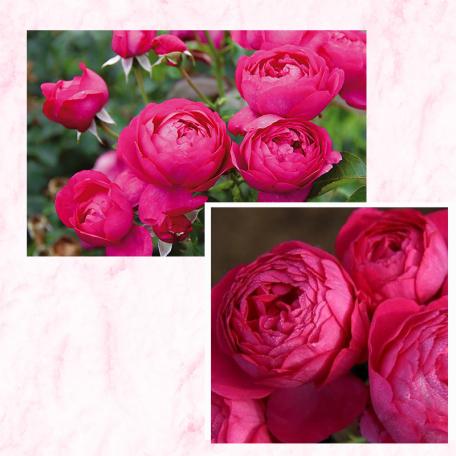 Lot de 3 rosiers TOUL® Evjubisia