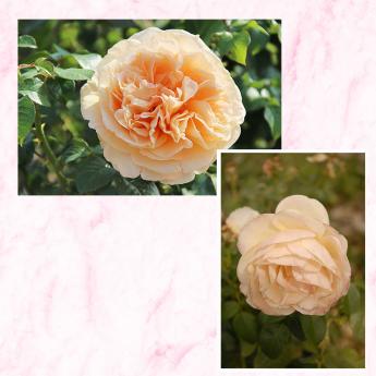 Yen Baï® 'Evelinamb' Lot de 3 rosiers