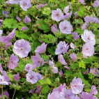 vivace Geranium Lilac Ice