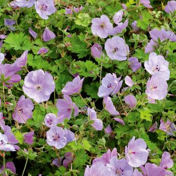 Geranium Lilac Ice