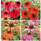 Collection 4 Echinacea