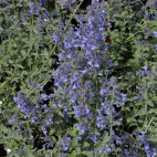 Nepeta faassenii Walker's Low