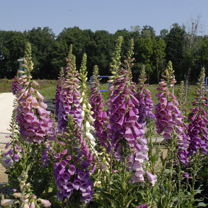1 g env Digitale Digitalis purpurea Native Fleur Sauvage 12,000 Graines