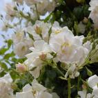 Rosier grimpant sourire d'orchidée