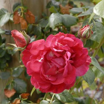 Roiser grimpant rose des blés