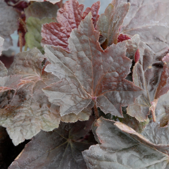 Heuchera micantha Palace Purple