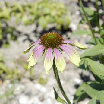 Echinacea purpurea Green Envy