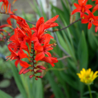 Crocosmia Lucifer