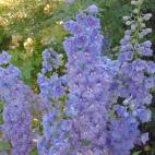 Delphinium pacific Guinevere