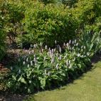 Polygonum affine Superbum (Persicaria affinis Superbum)