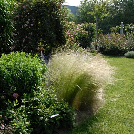 Stipa tenuifolia