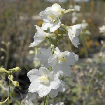 Delphinium belladonna Casa Blanca
