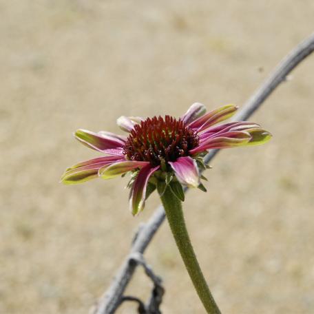 Echinacea purpurea Green Twister