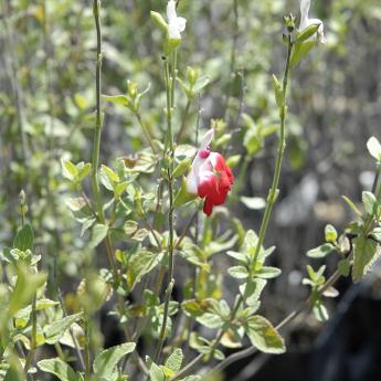 Salvia grahamii Hot Lips