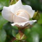 Rosier buisson Azay le Rideau® Evejarah