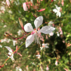 Gaura lindheimeri Whirling Butterfly