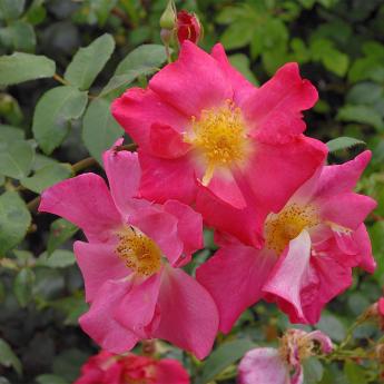 Rosier arbuste Folichonne
